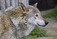 Lobo 11 Fotos de Stock