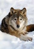 Lobo Imagen de archivo