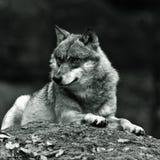 Lobo fotos de stock