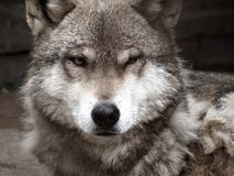 Lobo imágenes de archivo libres de regalías