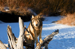Lobo Foto de Stock Royalty Free