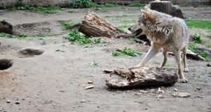 Lobo. Imagenes de archivo