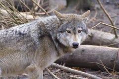 Lobo Imagens de Stock