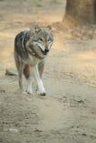 Lobo Imagem de Stock