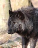 Lobo Fotografía de archivo