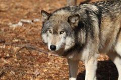 Lobo Foto de Stock Royalty Free