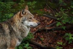 Lobo Foto de Stock