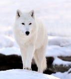 Lobo fotos de stock royalty free
