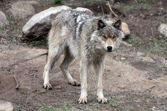 Lobo 3 Fotografia de Stock Royalty Free