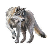 Lobo Imagen de archivo libre de regalías