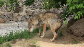 Lobo almacen de metraje de vídeo