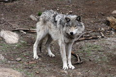 Lobo 4 Imagens de Stock