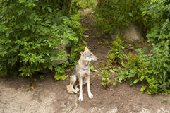 Lobo Foto de archivo libre de regalías