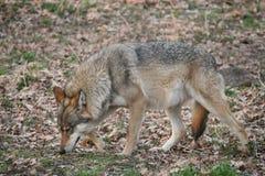 Lobo Foto de archivo