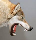 Lobo Imagenes de archivo