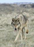 Lobo Fotos de archivo