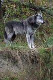 Lobo Fotografia de Stock Royalty Free