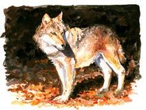 Lobo. Fotos de archivo