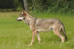 Lobo 3 Foto de Stock Royalty Free