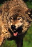 Lobo agresivo Imágenes de archivo libres de regalías