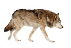 Lobo. Aislado sobre blanco Imagenes de archivo