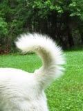 Lobo alemão do cão-pastor do wolfdog branco Fotos de Stock Royalty Free