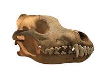 Lobo antiguo del cráneo en un fondo blanco, aislado fotos de archivo