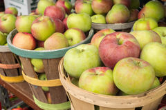 Lobo apples in a basket Stock Image
