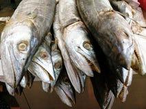 Lobo-arenques secados de Dorab Foto de Stock Royalty Free