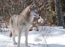 Lobo atento fotografia de stock royalty free