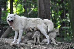 Lobo blanco ártico Imagenes de archivo