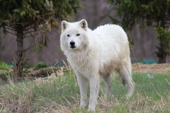 Lobo (blanco) ártico Fotografía de archivo