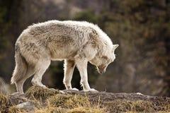 Lobo blanco Foto de archivo