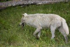 Lobo blanco Imágenes de archivo libres de regalías