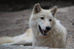 Lobo blanco fotos de archivo
