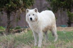 Lobo (branco) ártico Fotografia de Stock