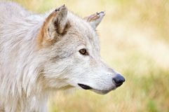Lobo branco Imagens de Stock