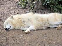 Lobo branco imagem de stock royalty free