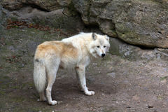 Lobo branco Fotos de Stock