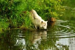 Lobo branco com reflexão da água Fotos de Stock Royalty Free
