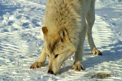 Lobo branco na neve Foto de Stock