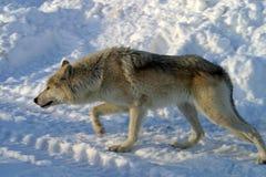Lobo branco na neve Fotografia de Stock Royalty Free