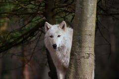 Lobo branco na observação das árvores fotos de stock royalty free