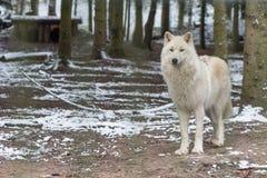 Lobo branco no grande fora Imagens de Stock Royalty Free