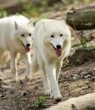 Lobo branco selvagem fotografia de stock