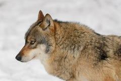 Lobo cinzento Fotografia de Stock