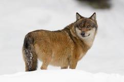 Lobo cinzento imagem de stock royalty free