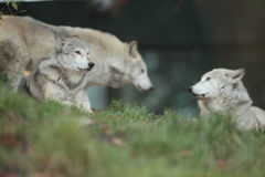 Lobo cinzento. Imagem de Stock