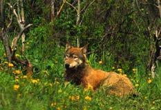 Lobo cinzento alojado no prado imagem de stock