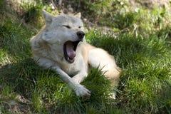 Lobo cinzento de bocejo Imagens de Stock Royalty Free